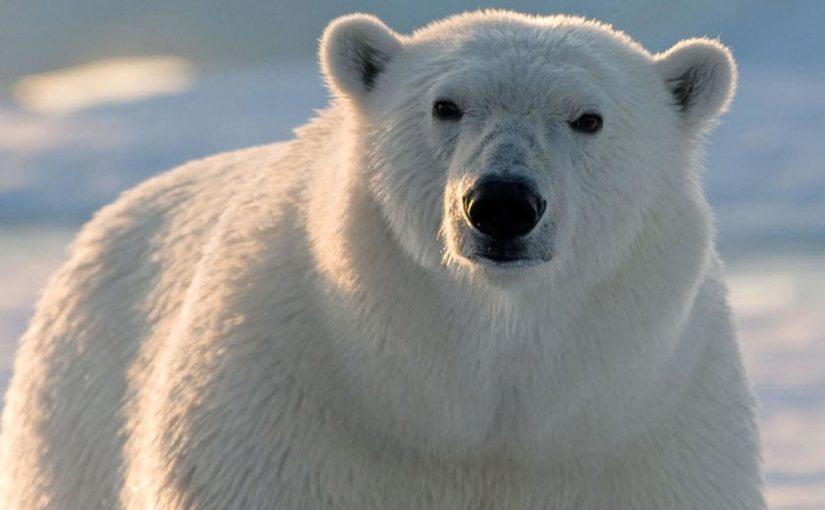 Die Eisbären in der Hudson Bay
